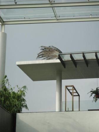 アマラサンクチュアリの孔雀