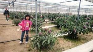 宮崎 緒方さんちのマンゴー畑